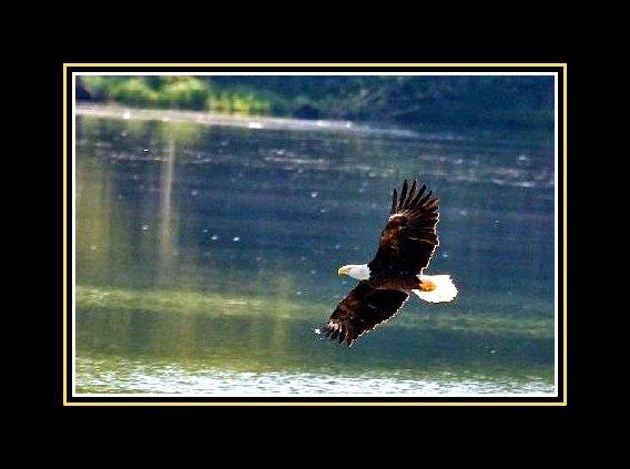 Pic of Eagle in flight framed
